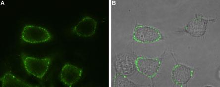 Anti-Orai1 (extracellular)-ATTO-488 Antibody
