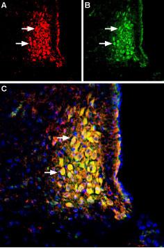 Anti-Neurokinin 1 Receptor (NK1R) (extracellular)-ATTO Fluor-488 Antibody