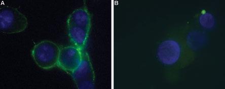 Anti-P2X7 Receptor (extracellular)-ATTO-488 Antibody