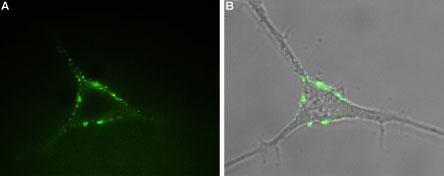 Anti-P2Y1 Receptor (extracellular)-ATTO-488 Antibody