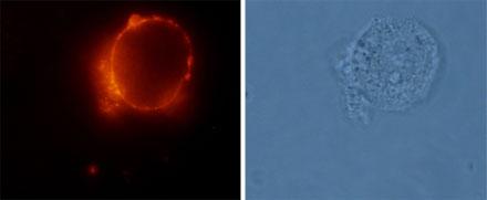 Anti-Angiotensin II Receptor Type-2 (extracellular) Antibody