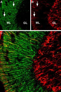 Expression of α2A-Adrenoreceptor in rat cerebellum