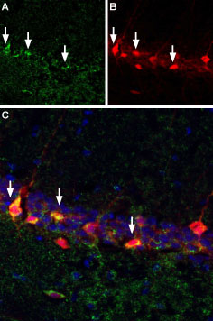 Bungarotoxin binding sites co-localize with GABAergic neurons expressing parvalbumin in mouse hippocampal CA1 region.