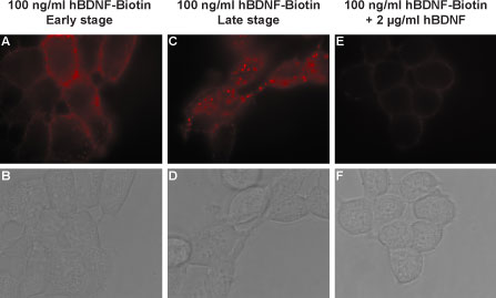 Alomone Labs human BDNF-Biotin binds TrKB receptors in living and stably transfected HEK293 cells and is displaced by un-labeled human BDNF.