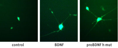 Alomone Labs Recombinant human proBDNF (cleavage resistant) protein mediates neurites outgrowth in TrkB transfected PC12 cells.