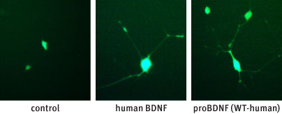 Alomone Labs Recombinant human proBDNF protein mediates neurite outgrowth in TrkB transfected PC12 cells.