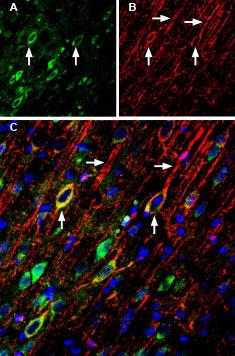 Anti-NMDAR2A (GluN2A) (extracellular)-ATTO Fluor-488 Antibody