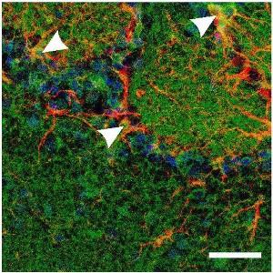 Guinea pig Anti-GluR1 (GluA1) (extracellular) Antibody
