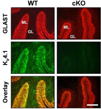 Anti-Kir4.1 (KCNJ10) Antibody