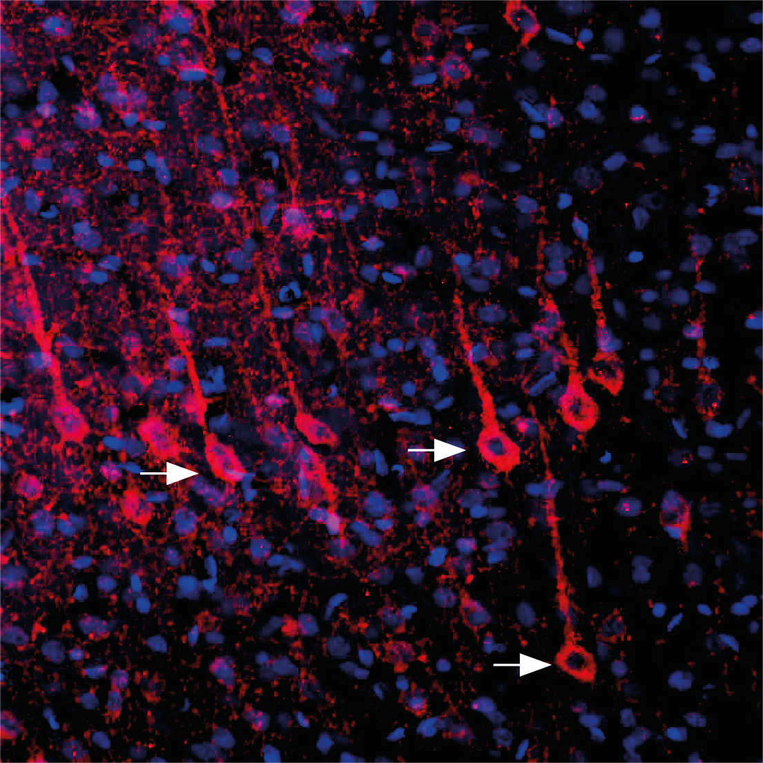 Expression of P2RY6 in rat parietal cortex