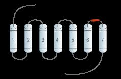Anti-GPR55 (extracellular) Antibody