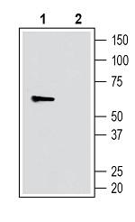Anti-SLC11A1/NRAMP1 (extracellular) Antibody