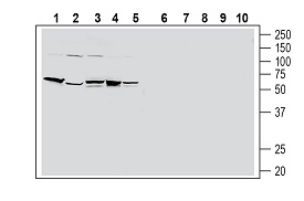 Western blot analysis of human HT-29 colon adenocarcinoma cell line lysate (lanes 1 and 6), human PANC-1 pancreatic carcinoma cell line lysate (lanes 2 and 7), human THP-1 monocytic leukemia cell line lysate (lanes 3 and 8), human Jurkat T-cell leukemia cell line lysate (lanes 4 and 9) and human MCF-7 breast adenocarcinoma cell line lysate (lanes 5 and 10):