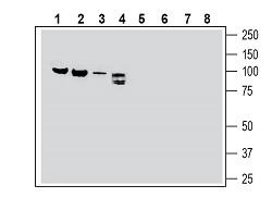 Western blot analysis of rat brain membranes (lanes 1 and 5), rat lung membranes (lanes 2 and 6), mouse heart membranes (lanes 3 and 7) and rat dorsal root ganglion lysate (lanes 4 and 8):