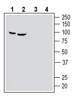 Western blot analysis of human HeLa cervix adenocarcinoma cell line lysate (lanes 1 and 3) and human PC-3 prostate adenocarcinoma cell line lysate (lanes 2 and 4):