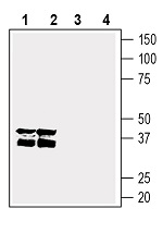 Western blot analysis of rat brain membranes (lanes 1 and 3), and mouse brain membranes (lanes 2 and 4):