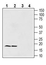 Anti-Gamma-Synuclein Antibody