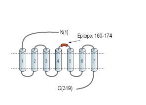 Anti-Human GPR55 (extracellular) Antibody