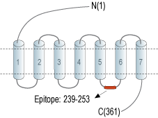 Anti-GPR52 Antibody