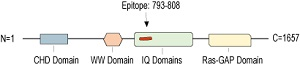 Anti-IQGAP1 Antibody