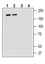 Western blot analysis of human Jurkat T-cell leukemia cell line lysate (lanes 1 and 3) and human MCF-7 breast adenocarcinoma cell line lysate (lanes 2 and 4):