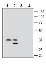 Western blot analysis of rat brain membranes (lanes 1 and 3) and mouse brain membranes (lanes 2 and 4):