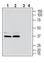 Western blot analysis of human MEG-01 megakaryoblastic leukemia cell line lysate (lanes 1 and 3) and human Jurkat T-cell leukemia cell line lysate (lanes 2 and 4):