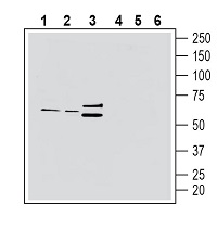 Western blot analysis of rat brain lysate (lanes 1 and 4), mouse brain membranes (lanes 2 and 5) and rat spleen lysate (lanes 3 and 6):