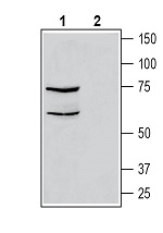 Western blot analysis of human THP-1 monocytic leukemia cell line lysate:
