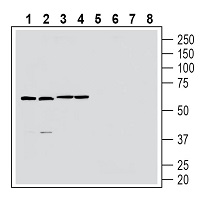 Western blot analysis of rat brain membranes (lanes 1 and 5), mouse brain lysate (lanes 2 and 6), rat spleen lysate (lanes 3 and 7) and mouse spleen membranes (lanes 4 and 8):