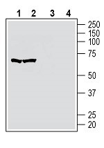 Western blot analysis of human MOLT-4 T-cell leukemia cell line lysate (lanes 1 and 3) and human Jurkat T-cell leukemia cell line lysate (lanes 2 and 4):