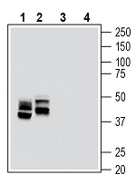 Western blot analysis of rat lung membranes (lanes 1 and 3) and mouse lung lysate (lanes 2 and 4):