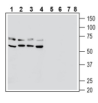 Western blot analysis of human PANC-1 pancreatic carcinoma cell line lysate (lanes 1 and 5), human Jurkat T-cell leukemia cell line lysate (lanes 2 and 6), human THP-1 monocytic leukemia cell line lysate (lanes 3 and 7) and mouse BV-2 microglia cell line lysate (lanes 4 and 8):