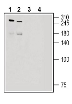Western blot analysis of rat dorsal root ganglion lysate (lanes 1 and 3) and mouse lung lysate (lanes 2 and 4):