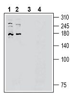 Western blot analysis of human HepG2 hepatocellular cell line lysate (lanes 1 and 3) and human HUVEC endothelial cell line lysate (lanes 2 and 4):