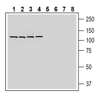 Western blot analysis of rat brain membranes (lanes 1 and 5), mouse brain membranes (lanes 2 and 6), rat small intestine lysate (lanes 3 and 7) and rat liver membranes (lanes 4 and 8):