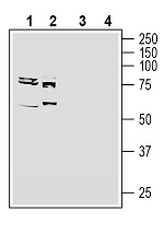 Western blot analysis of human MCF-7 breast adenocarcinoma cell line lysate (lanes 1 and 3) and human K562 myelogenous leukemia cell line lysate (lanes 2 and 4):