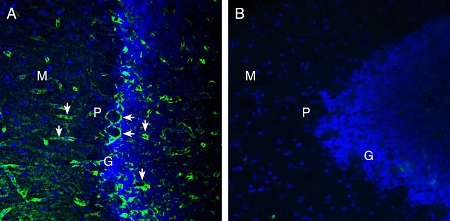 Expression of MERTK in rat cerebellum