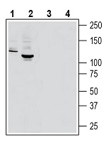 Western blot analysis of rat brain lysate (lanes 1 and 3) and mouse brain lysate (lanes 2 and 4):