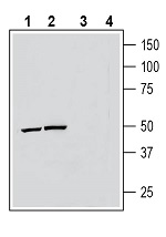 Western blot analysis of human THP-1 monocytic leukemia cell line lysate (lanes 1 and 3) and mouse BV-2 microglia cell line lysate (lanes 2 and 4):