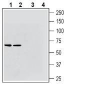 Western blot analysis of rat brain membranes (lanes 1 and 3) and mouse brain membranes (lanes 2 and 4):