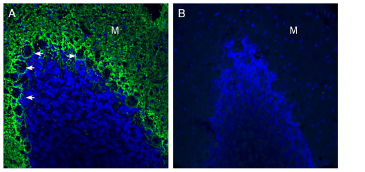 Expression of GPR37L1 in rat cerebellum.