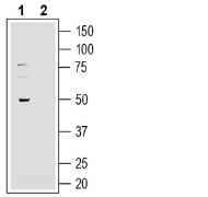 Western blot analysis of human U-87 MG glioblastoma cell line lysate: