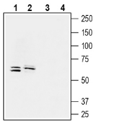 Western blot analysis of human LoVo colorectal adenocarcinoma cell line lysate (lanes 1 and 3) and human ARPE-19 retinal pigmented epithelium cell line lysate (2 and 4):