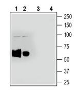 Western blot analysis of rat spleen lysate (lanes 1 and 3) and mouse spleen lysate (lanes 2 and 4):