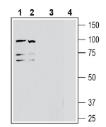 Western blot analysis of human Jurkat T-cell leukemia cell line lysate (lanes 1 and 3) and human K562 erythroleukemia cell line lysate (lanes 2 and 4):