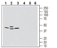 Western blot analysis of rat brain membranes (lanes 1 and 4), mouse brain lysates (lanes 2 and 5) and rat lung membranes (lanes 3 and 6):