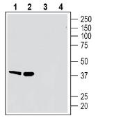 Western blot analysis of rat spleen membranes (lanes 1 and 3) and mouse spleen membranes (lanes 2 and 4):