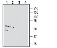 Western blot analysis of mouse brain membranes (lanes 1 and 3) and rat lung lysate (lanes 2 and 4):