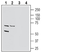 Western blot analysis of human THP-1 monocytic leukemia cell line lysate (lanes 1 and 3) and human MCF-7 breast adenocarcinoma cell line lysate (lanes 2 and 4):